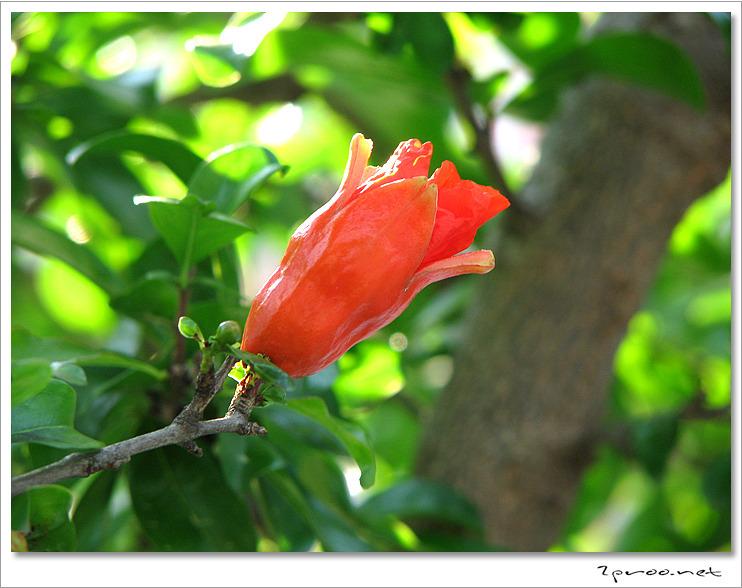 석류 꽃 사진, 석류나무 꽃 사진