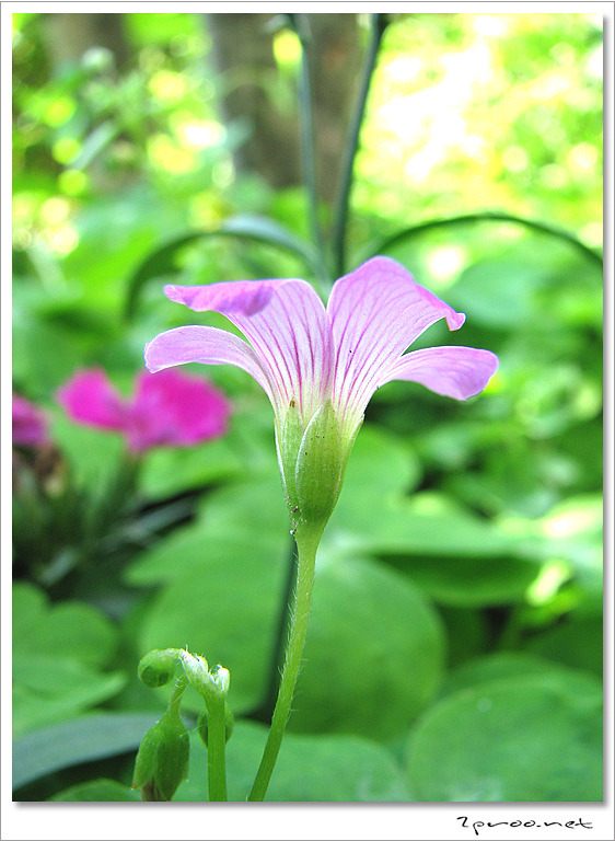 자주 괭이밥 꽃 사진