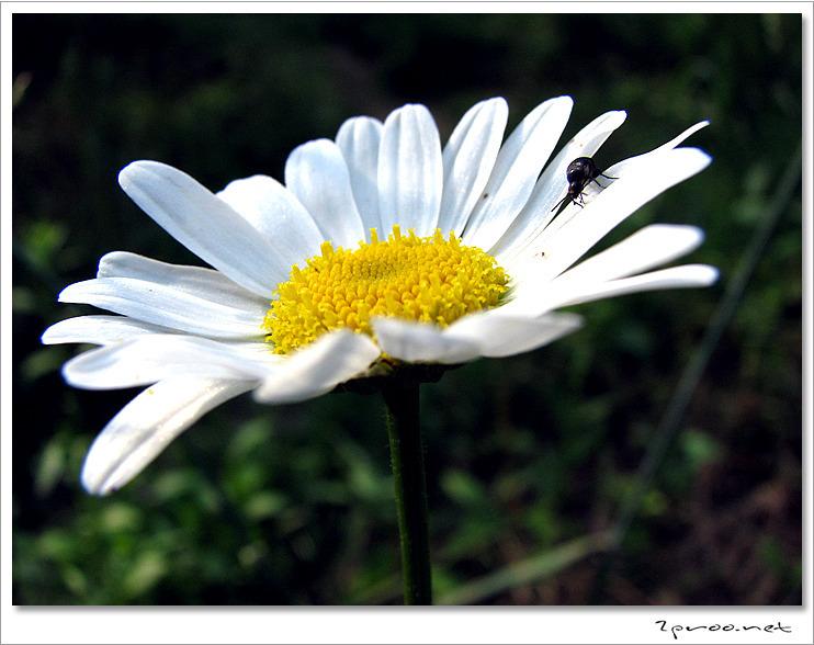 샤스타데이지 꽃 사진