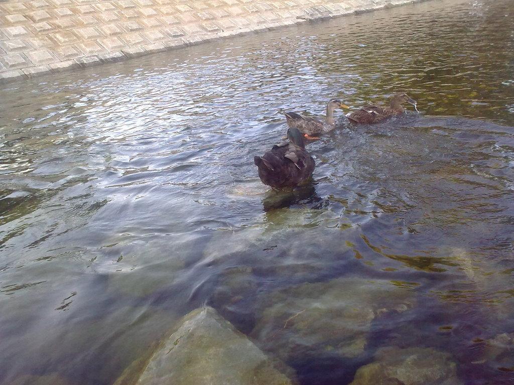 대구 신천둔치에서 둥지를 튼 청둥오리 가족 wild duck family made home at Sinchundunchi, Daegu #7