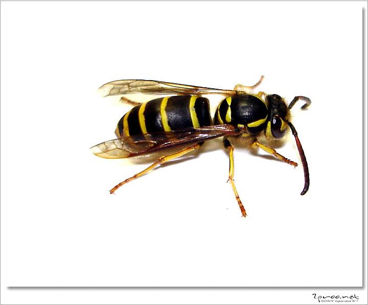 곤충, 곤충 사진, 곤충 접사, 말벌, 말벌 사진, 말벌 접사, 말벌 접사사진, 말벌 확대, 말벌 확대 사진, 말벌사진, 말벌접사, 무서운 말벌, 벌 사진, 벌 접사, 사진