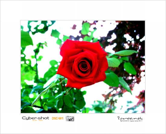 장미꽃 사진