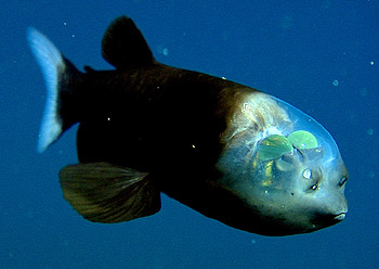 The barreleye (Macropinna microstoma) has extremely light-sensitive eyes that can rotate within a transparent, fluid-filled shield on its head.