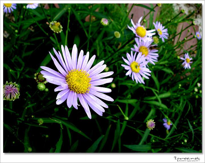 들국화 사진모음, 예쁜 들국화 꽃