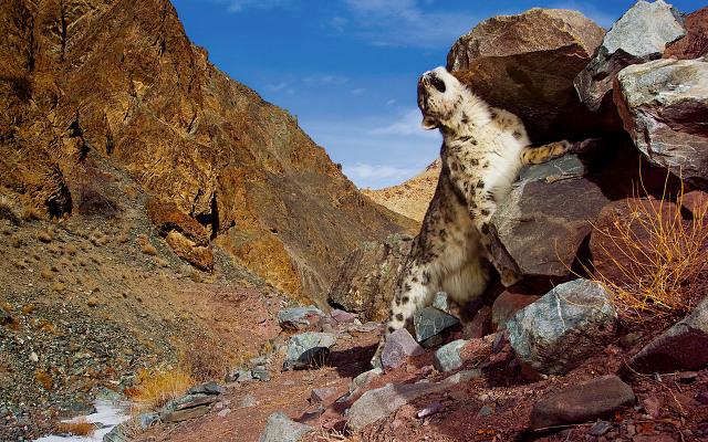 Snow Leopard 배경화면