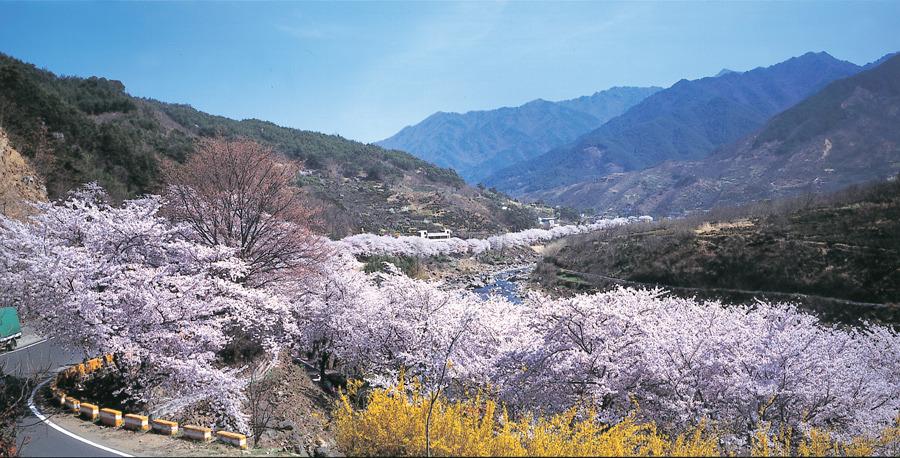 festivals printaniers incontournables en Corée : Hwagae cherry blossom festival