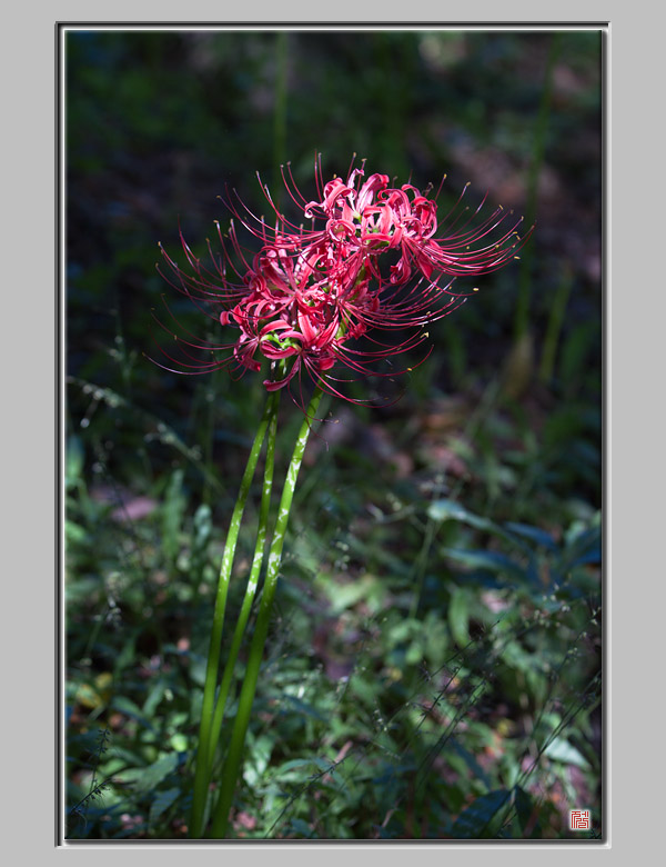 함양 꽃무릇