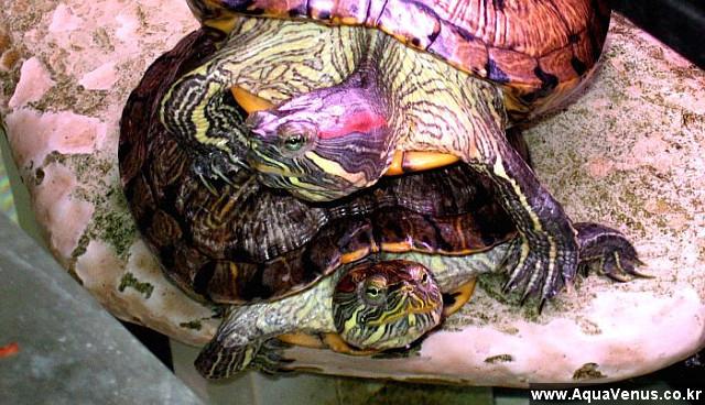 일광욕중인 청거북, 붉은귀거북, RES, 파충류, 반수생 거북, 쉴곳, 육지, Basking Area