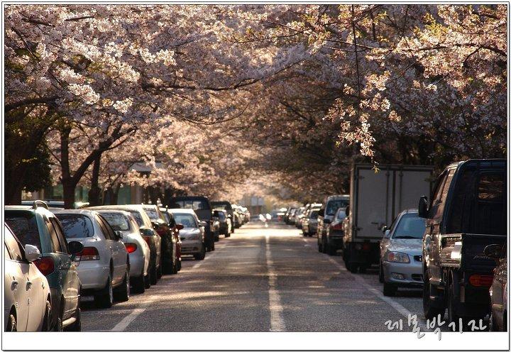 한양아파트_벚꽃_햇살