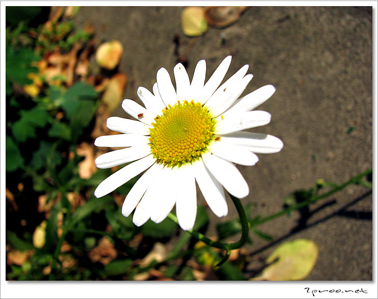 shasta daisy, 국화과, 꽃, 꽃 사진, 꽃말, 데이지, 사진, 샤스타데이지, 샤스타데이지 꽃, 샤스타데이지 꽃말, 샤스타데이지 꽃사진, 샤스타데이지 사진, Picture, photography, flower, 2proo