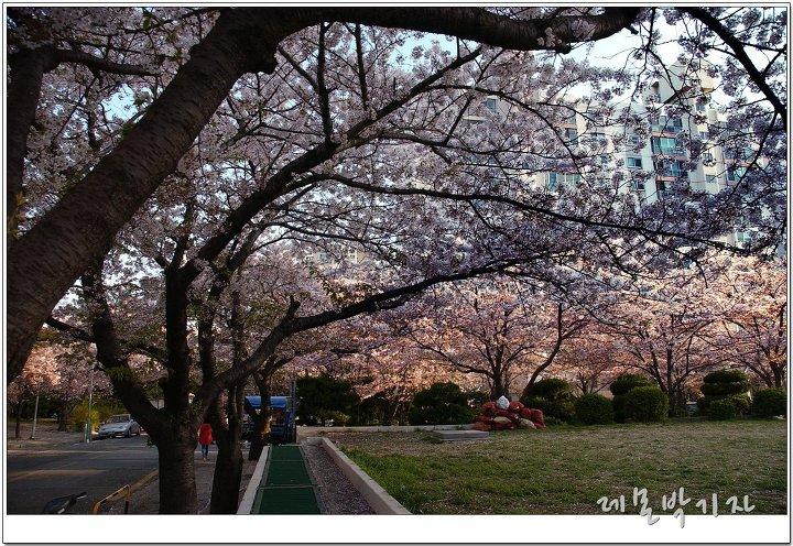 한양아파트_벚꽃_잔디밭