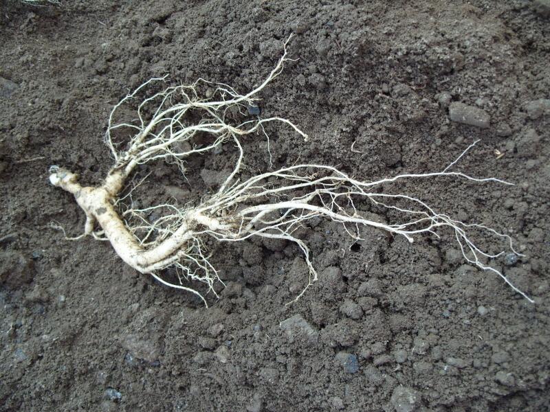 잔뿌리가 수분부족에 의해 말라서 탈락되고 있는중