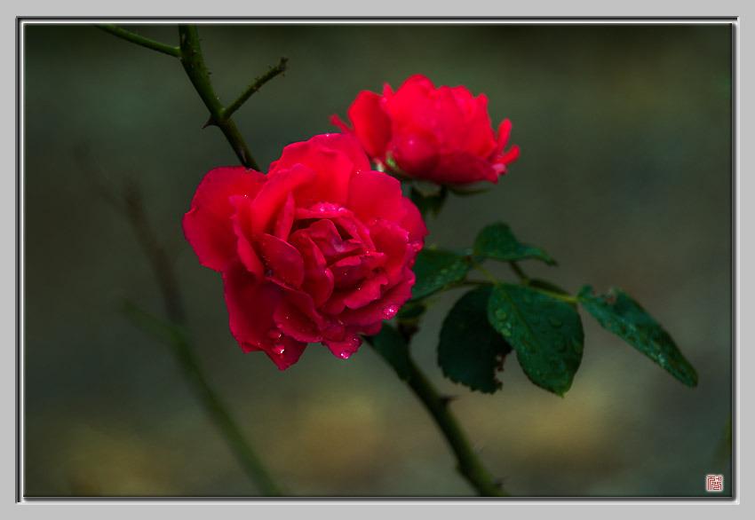 [Fuji s5pro] RED ROSES