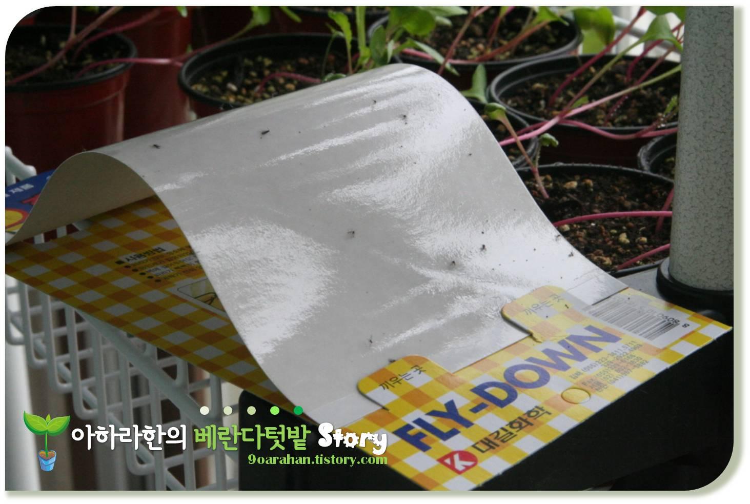 [날파리 퇴치] 베란다채소밭 날파리 퇴치법, 상추 날파리 화분에 날파리 퇴치하기