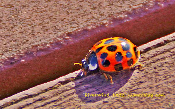 Coccinellidae,무당벌레과,무당벌레,점벌레,トウムシ,天道虫, 紅娘, 瓢虫,瓢蟲,Marienkäfer,coccinelle,kokcinelo,hanımböceği, gelinböceği ,숙녀벌레,신부벌레,ladybug,ladybird