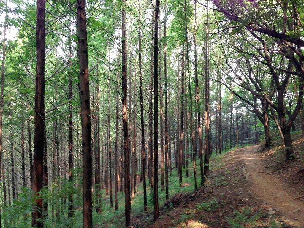 안산 메타세콰이어 숲