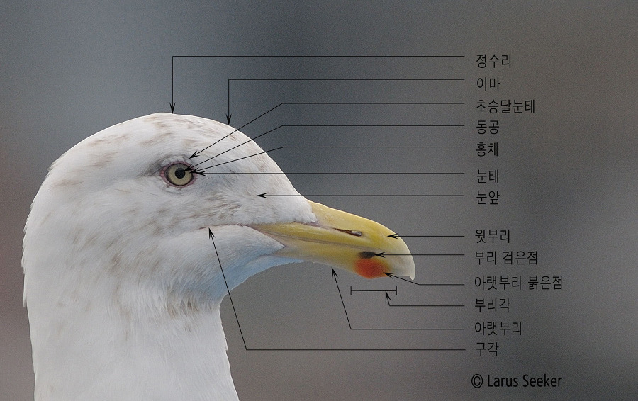 Head Topography of Gull