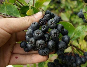아로니아 열매