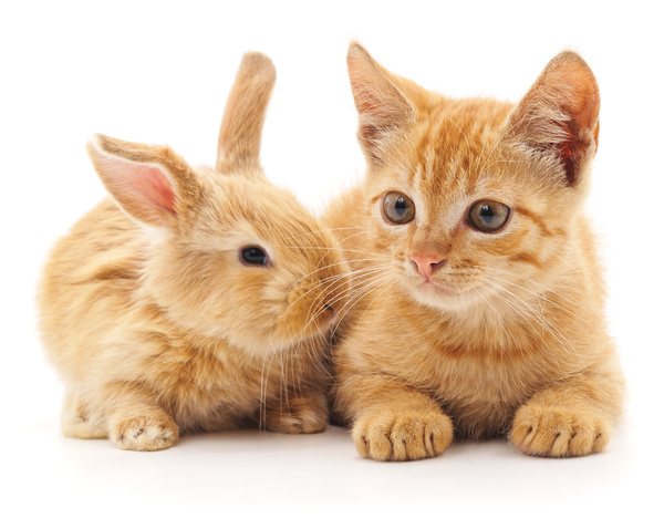 Free Stock Photo JPG file Kitten and rabbit HD picture
