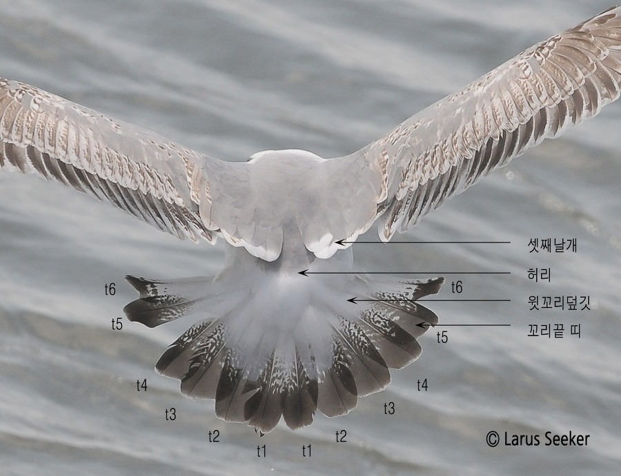 Tail Topography of Gull