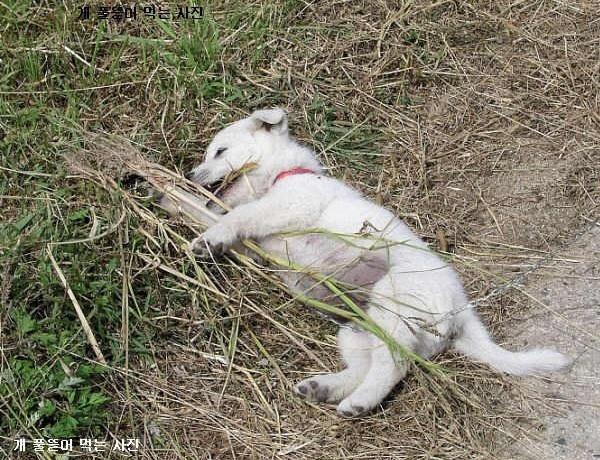 개 풀 뜯어 먹는 사진