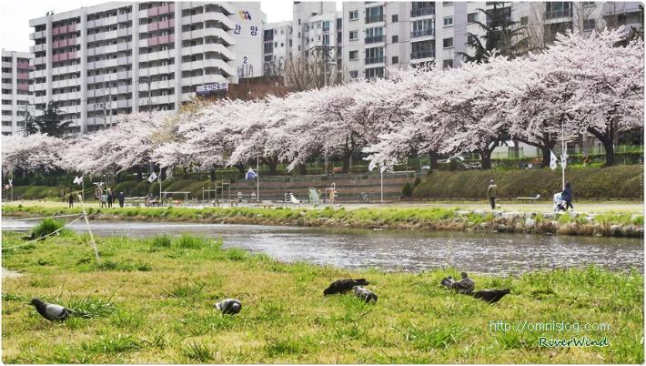 온천천의 봄풍경