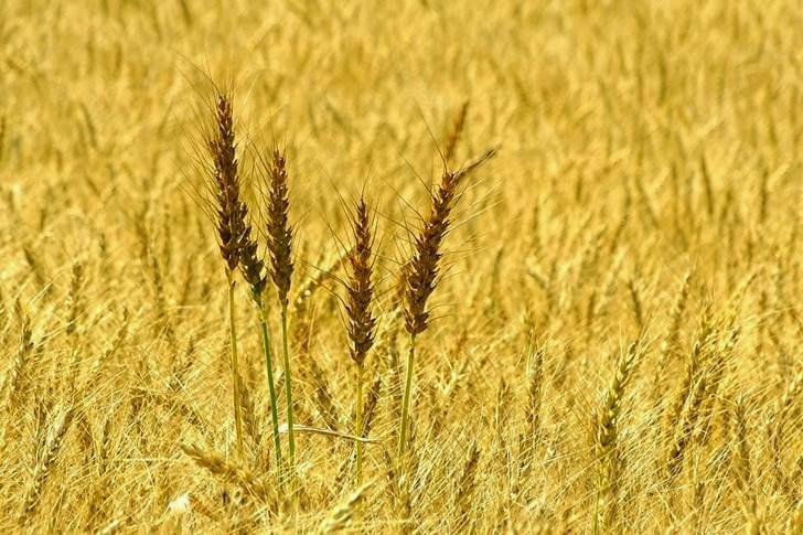 서스캐처원 주는 밀을 많이 생산합니다