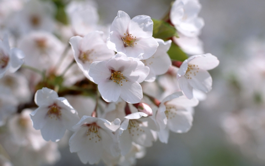 화사한 봄/벚꽃 풍경 바탕화면 wall paper