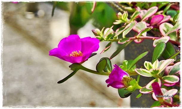 길가다 만난 채송화같은 꽃