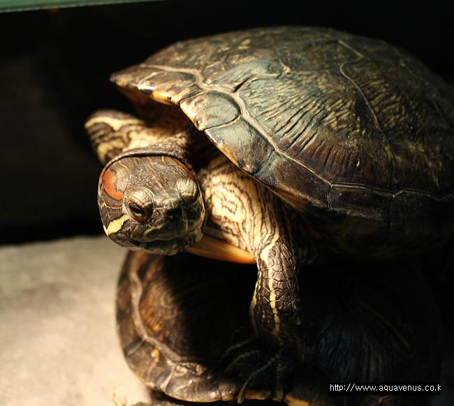 청거북이,반수생거북이,수생거북이,슬라이더,붉은귀거북이,붉귀