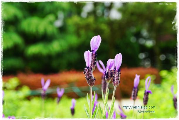 라벤더-Lavender