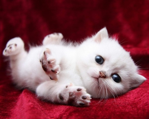 Free Stock Photo JPG file White cute kitten Stock Photo