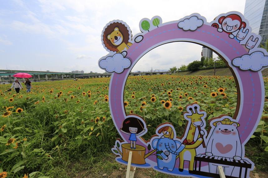 갑천둔치 해바라기 꽃밭