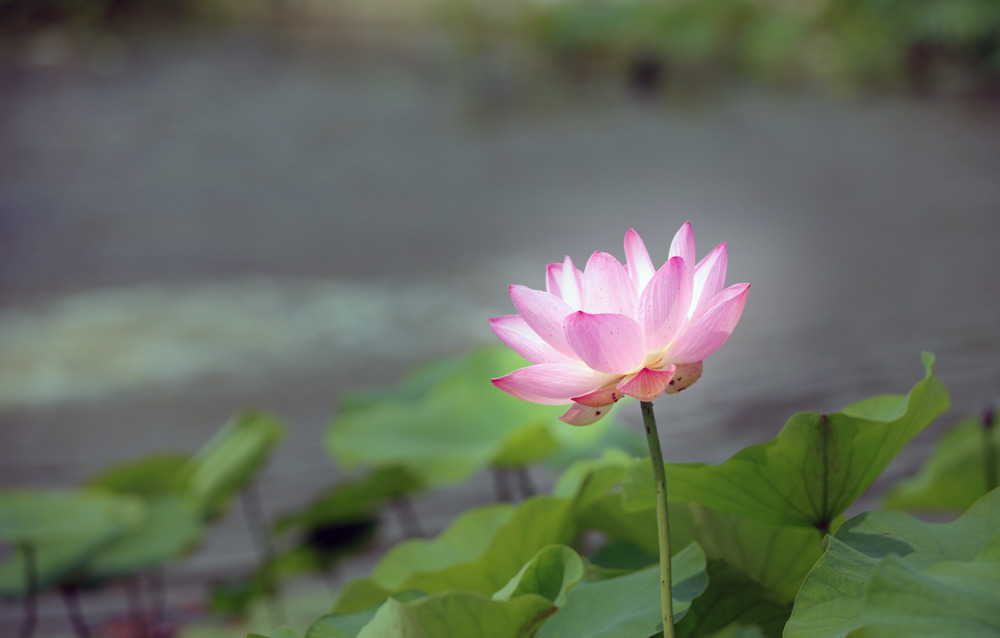 인흥세거지 연꽃