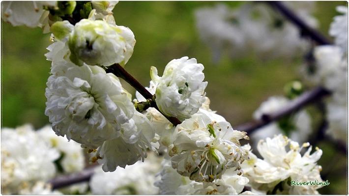 옥매(玉梅) , 옥매화(玉梅花),백매