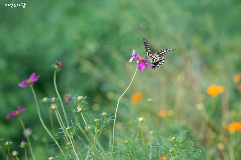 호랑나비 (胡蝶: Asian swallowtail)