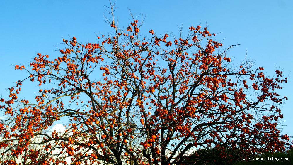 한겨울에 보기좋은 감나무