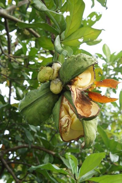 Fruits of Cola nitida 콜라나무