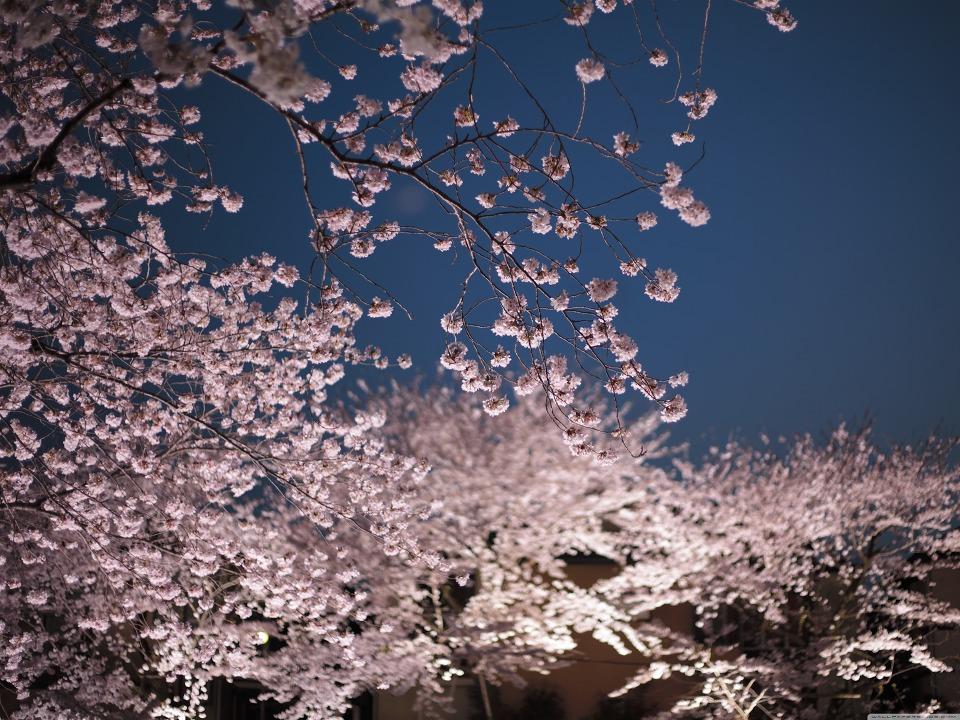 컴퓨터 바탕화면 벚꽃의 밤