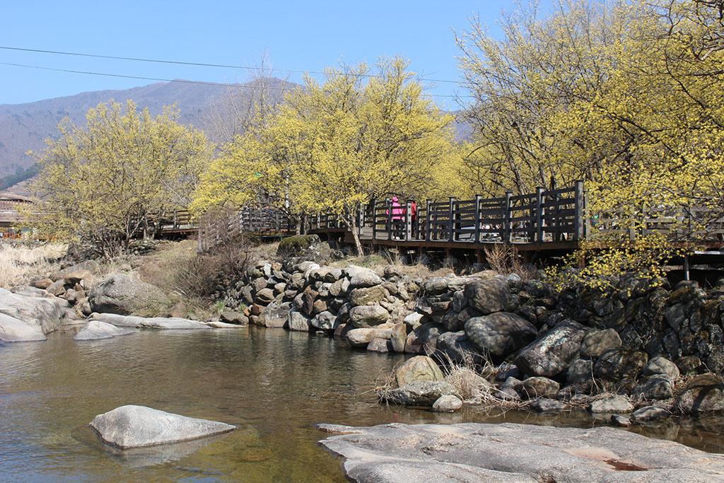 반곡마을 산수유꽃 산책길