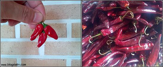 철원 2013년 건고추 가격 마른 햇고추 직거래 판매