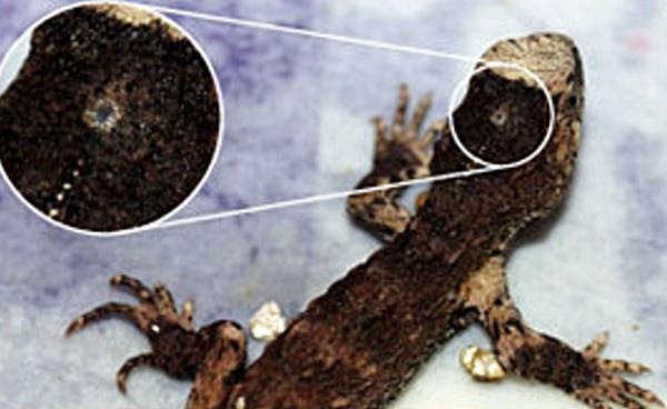 사진: 두정안은 도마뱀류의 일부 파충류, 개구리류의 일부 양서류, 장어류의 일부 어류에서 보이는 제3의 눈을 말한다. [간뇌에 위치한 송과체(송과선)의 중요성]