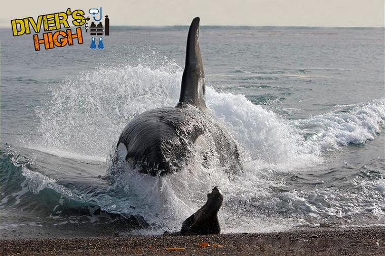 범고래 돌진 물개사냥 해변
