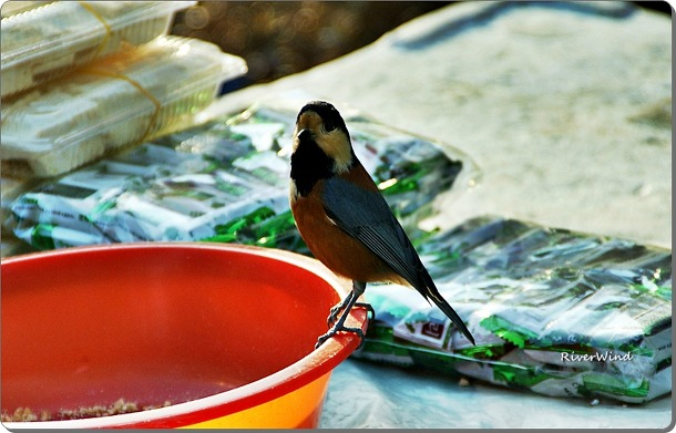 곤줄박이  Varied tit Prey