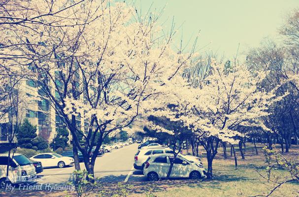 봄날 그리고 벚꽃