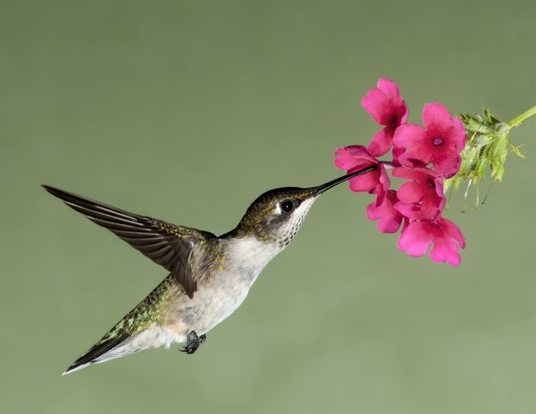 Free Stock Photo JPG file Hummingbird nectar HD picture 01