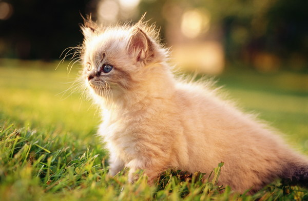 Free Stock Photo JPG file Little Persian cat HD picture