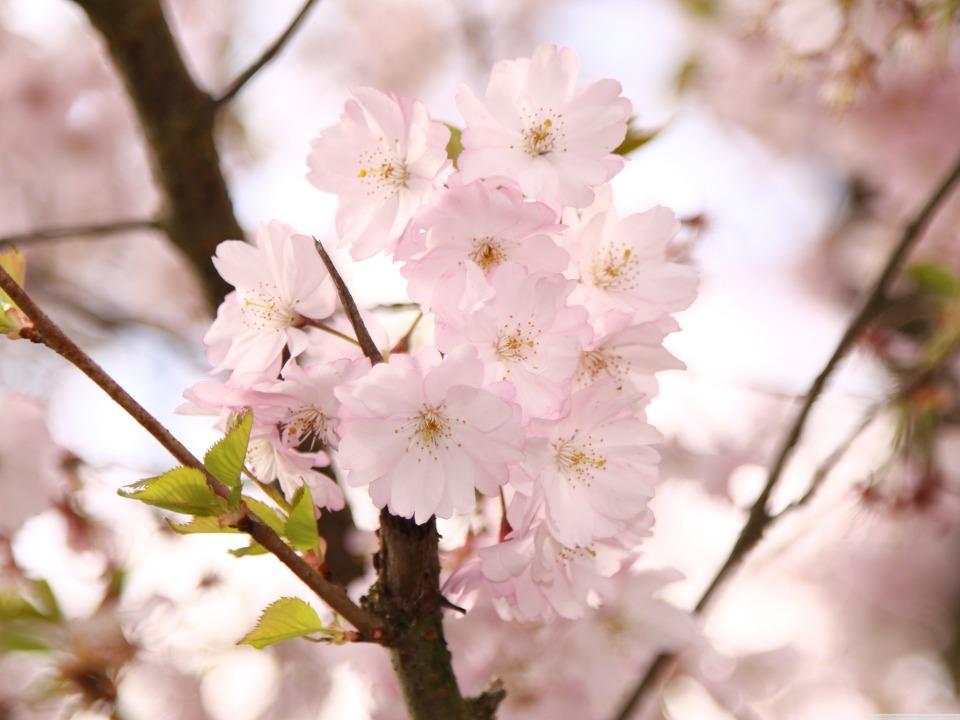 아이폰 배경화면 추천 벚나무 가지 만개