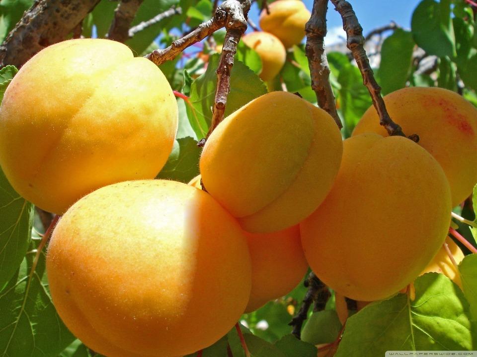 노란 맛있는 살구 과일 바탕화면 아이폰 배경화면