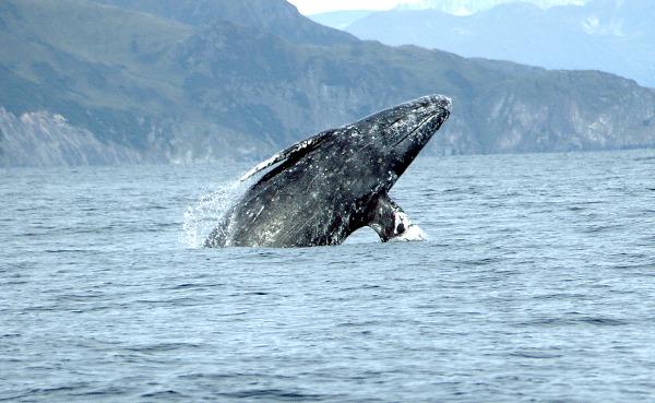 사진: 귀신고래는 범고래나 향유고래 만큼 인류에게 오래 전부터 친숙했던 고래이다. 고래 종류 중 사나운 고래로도 불린다.